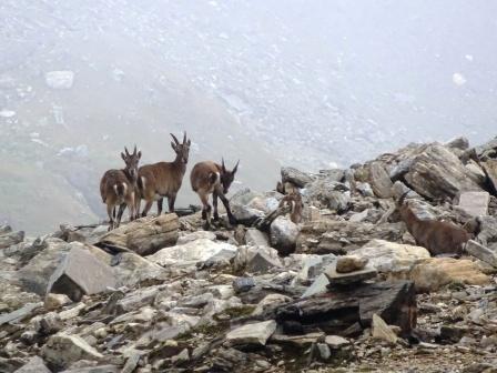 Trekking Monte Basodino Stambecchi