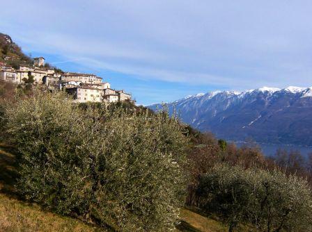 Musaga oliveti Sasso Gargnano